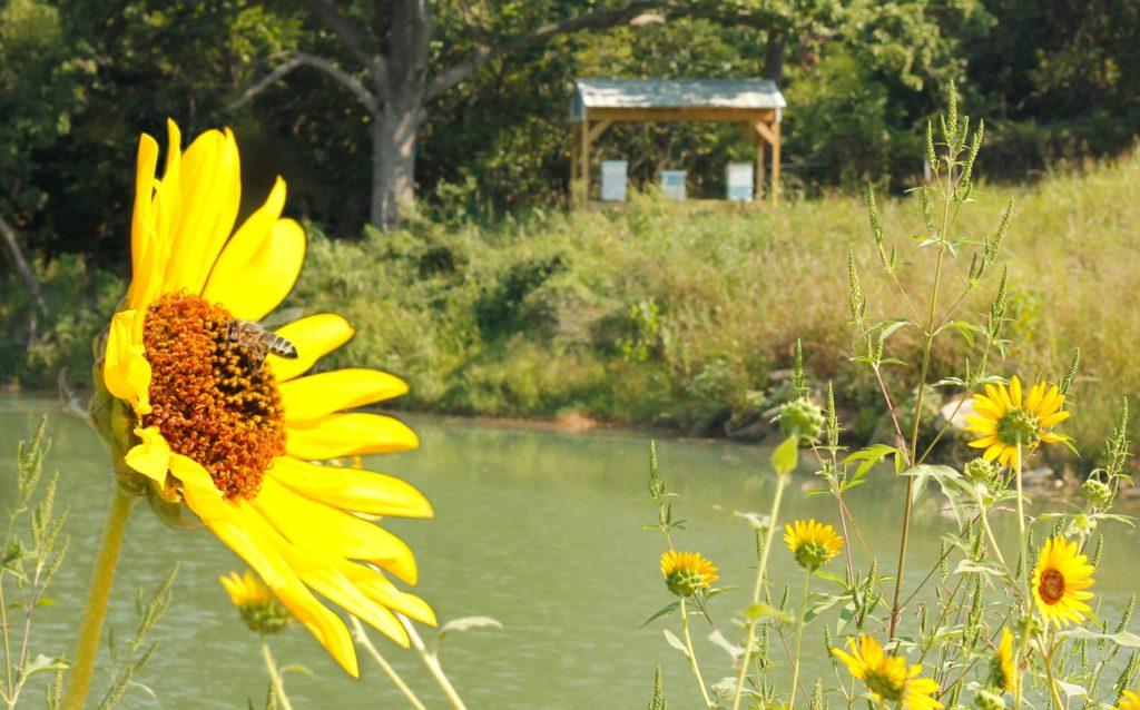 Oklahoma Landfill Honey Bees